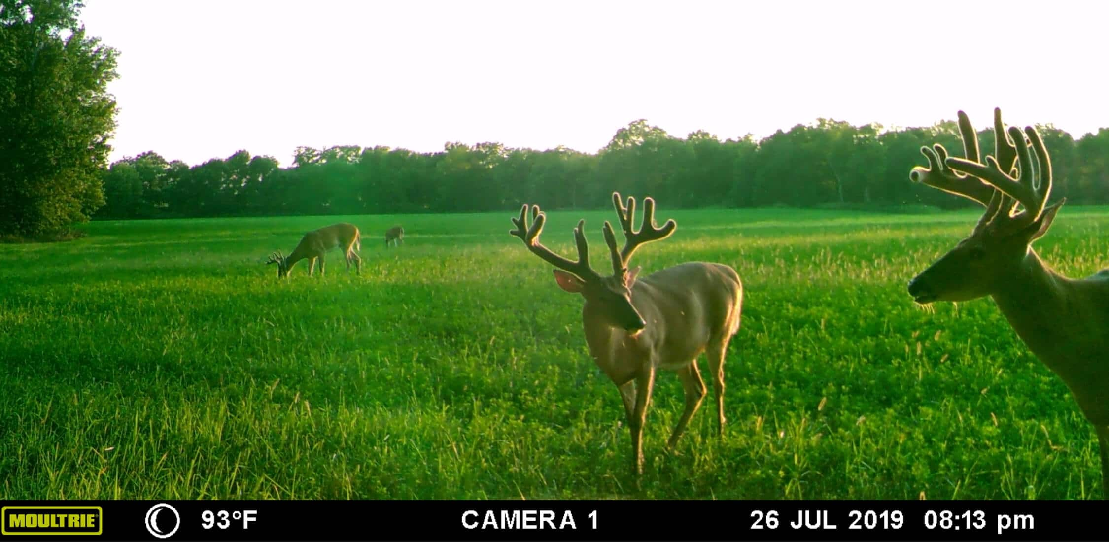 Image of deer taken from Moultrie Mobile cellular trail camera