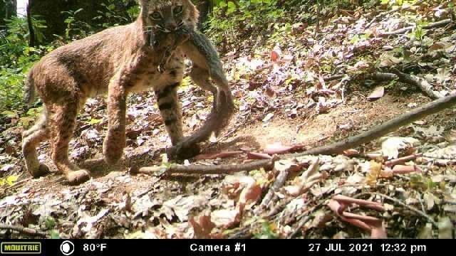 bobcat-with-squirrel