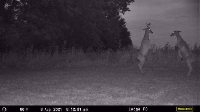 deer-at-night