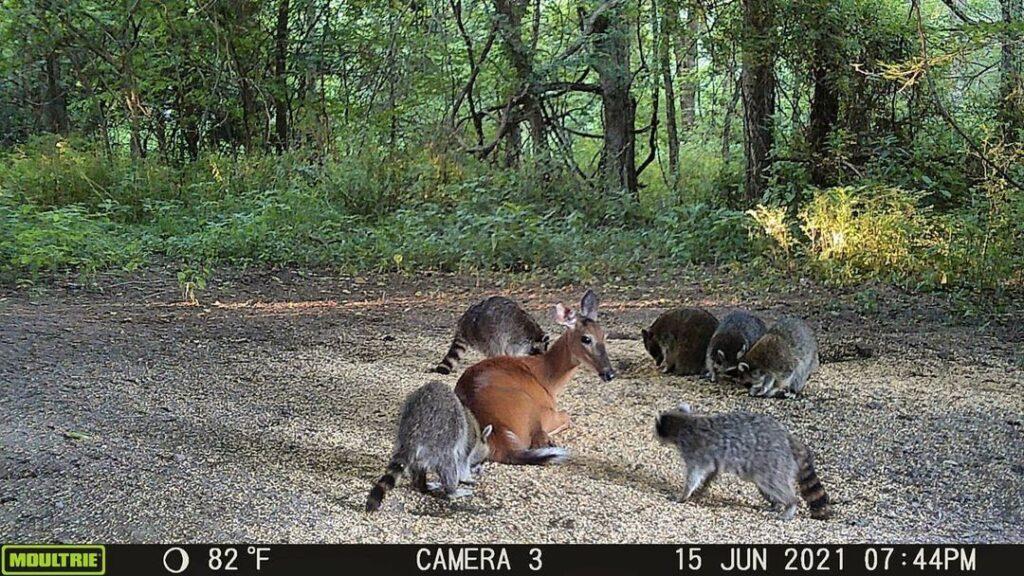 deer-laying-near-racoons