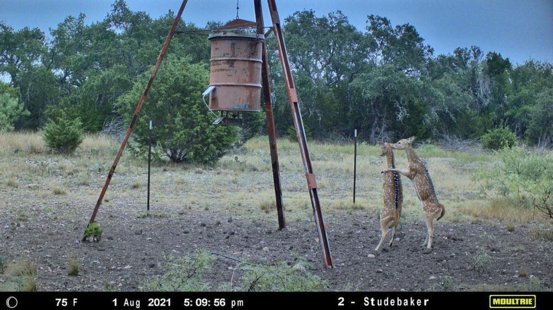 deer-near-feeder-caught-on-trail-camera
